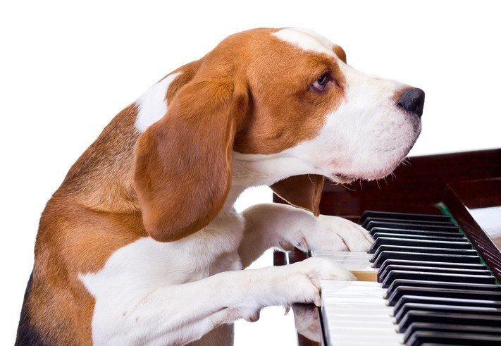 dog playing piano without looking down